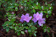 Purple Azalea flowers blooming during the spring in a Fraser Valley garden