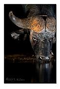 Big bull African buffalo drinking in Zimanga Privare Reserve, South-Africa. Nikon D5, 70-200mm @ 175mm, f2.8, 1/200sec, ISO1600, Artifician LED-light