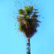 Digitally enhanced image of an exploding Mature California Fan Palm (Washingtonia filifera) with blue sky background. Photographed in Jaffa Israel