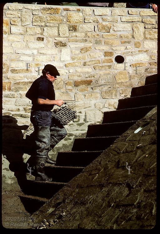 Man carrying basket of clams up steps to be weighed by gov't inspectors at Le Bono;Auray Rivr France