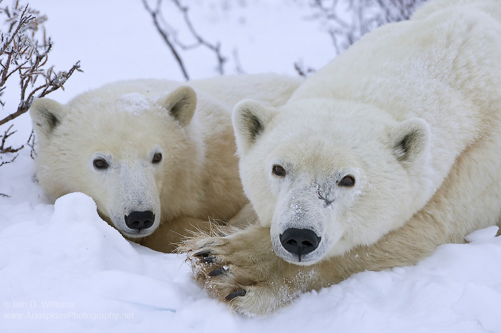A mother polar bear and cub, rest in a snow drift whilst they await the sea ice to freeze in the high Arctic tundra of Canada
