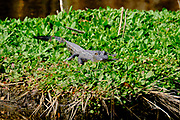 A juvenile American alligator warms in the winter sun on a patch of water lettuce at the Bear Island Wildlife Management Area in Green Pond, South Carolina.