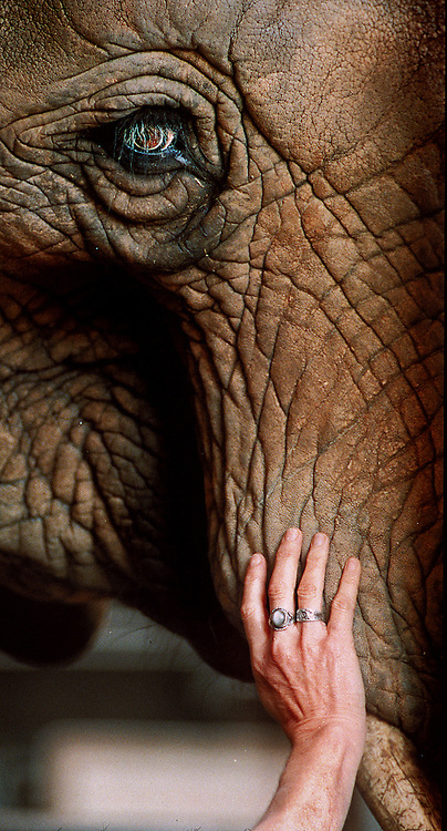 Donna may be an 800 pound African elephant, but that doesn't mean the Oakland Zoo pachyderm doesn't appreciate the gentle massage of Elke Riesterer.<br /> Photo by Shmuel Thaler <br /> shmuel_thaler@yahoo.com www.shmuelthaler.com