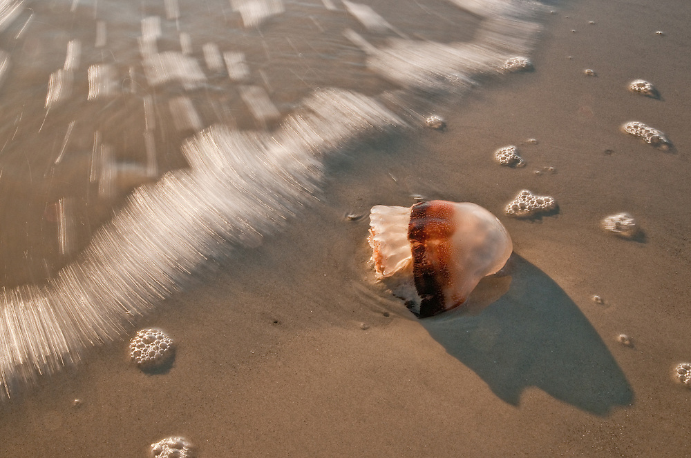 Jelly in the Surf