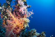 Soft Corals- Alcyonaire (Alcyonacea) of Red Sea, Sudan.