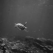 A Sea Turtle swims  over corals near Lady Elliot Island.
