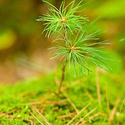 White pine seedling in a forest in Bridgewater, Massachusetts.  SUmmer.