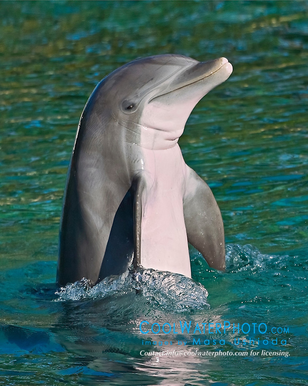 common bottlenose dolphin, Tursiops truncatus, treading water spyhop, Atlantic Ocean