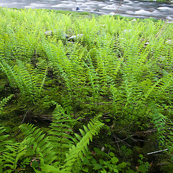 Ferns and the West Branch of the Westfield River in Chesterfield, Massachusetts.