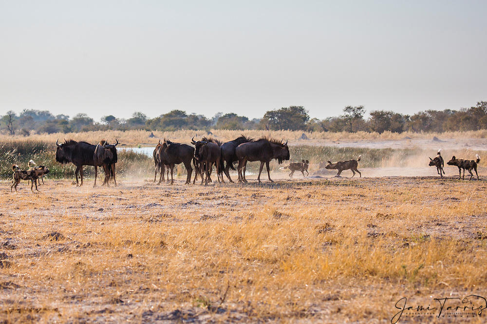 African Wild Dogs (Lycaon pictus) surrounding a small herd of wildebeest (Connochaetes) during a morning hunt, Moremi Game Reserve,Botswana, Africa