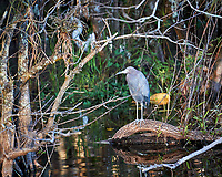 Little Blue Heron perched on a fallen tree in Big Cypress Swamp. Image taken with a Nikon D3s camera and 70-200 mm f2.8 lens (ISO 800, 200 mm, f/2.8, 1/500 sec).
