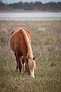 A wild pony browsing on Assateague Island.
