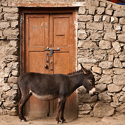 The Ladakhi Wild Ass are used for work and then abandoned in the street. The problem has become so widespread that a sanctuary has been created in Leh to care for the animals.