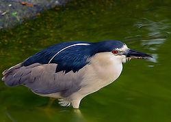 A Black-crowned Night Heron in Green Waters. The Black-crowned Night Heron, commonly abbreviated to just Night Heron in Eurasia, is a medium-sized heron found throughout a large part of the world, except in the coldest regions and Australasia. Black-crowned Night-Herons are stocky birds compared to many of their long-limbed heron relatives. They're most active at night or at dusk, when you may see their ghostly forms flapping out from daytime roosts to forage in wetlands. In the light of day adults are striking in gray-and-black plumage and long white head plumes. These social birds breed in colonies of stick nests usually built over water. They live in fresh, salt, and brackish wetlands and are the most widespread heron in the world. <br />