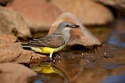 Western Kingbird (Tyrannus verticalis) Amado, Arizona<br /> animals<br /> wildlife<br /> birds