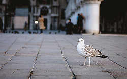 THEMENBILD - eine Möwe auf einem Kopfsteinpflaster am Markusplatz, aufgenommen am 05. Oktober 2019 in Venedig, Italien // a seagull on a cobblestone at St. Mark's Square, in Venice, Italy on 2019/10/05. EXPA Pictures © 2019, PhotoCredit: EXPA/Stefanie Oberhauser
