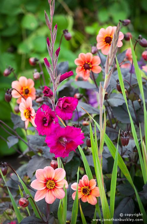 Dahlia 'Happy Single Date' with Gladiolus 'Plum Tart'