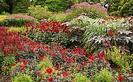 A red border of dahlia in The Savill Garden, Surrey, UK