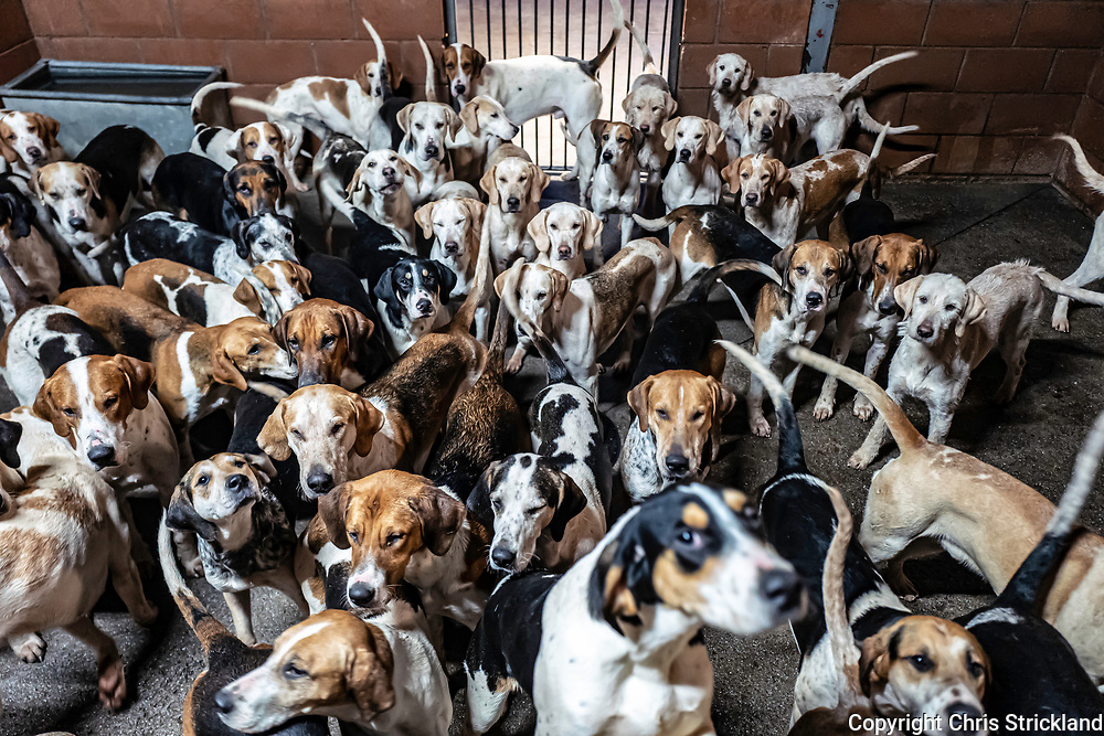 Bowden, Melrose, Scottish Borders, Scotland, UK. 24th December 2020. The Duke of Buccleuch's foxhounds at their kennels near Melrose prior to hunting on Christmas Eve.