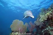 Honey, a wild sociable bottlenose dolphin, Tursiops truncatus, on a shallow coral reef at Lighthouse Reef Atoll, Belize ( Caribbean Sea )