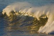 Seagulls flying over Ocean waves breaking at sunrise, San Mateo County coast, California