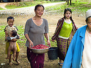 A Hmong ethnic minority woman in Ban Long Lan carries a bowl of Arabica coffee cherries harvested for 'Saffron coffee', Luang Prabang province, Lao PDR. The coffee is grown in the high mountain peaks and plateaus in Luang Prabang over 800 meters above sea level. In November, December and January Saffron Coffee coffee farmers gather all of their family members to hand pick only the red-ripe cherries. It will take several passes over these few months to harvest all of them. These farmers were once producers of opium, but who have been impoverished by lack of a replacement crop in the wake of opium's prohibition by the Lao government. Saffron Coffee's goal in helping these farmers grow coffee is to give them a viable and sustainable cash crop, developing their economy, and thus giving them the ability to buy medicines and send their children to school.