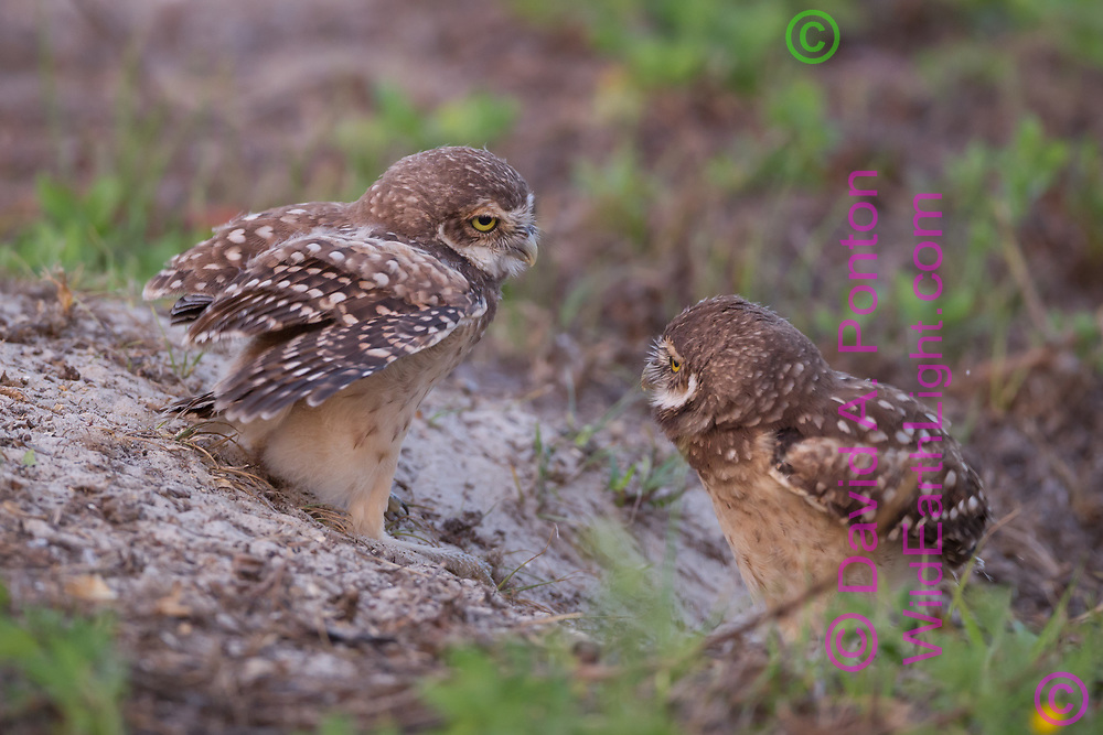 Young burrowing owls staring at each other at entrance to burrow, © David A. Ponton