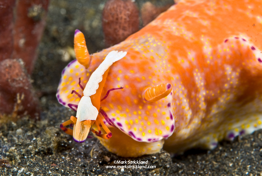 An imperial shrimp, Periclimenes imperator, receives free transportation and shelter thanks to a commensal relationship with its host nudibranch, Ceratosoma tenue. Lembeh Strait, North Sulawesi, Indonesia, Pacific Ocean
