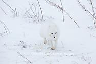 01863-01604 Arctic Fox (Alopex lagopus) in winter Churchil Wildlife Management Area Churchill, MB