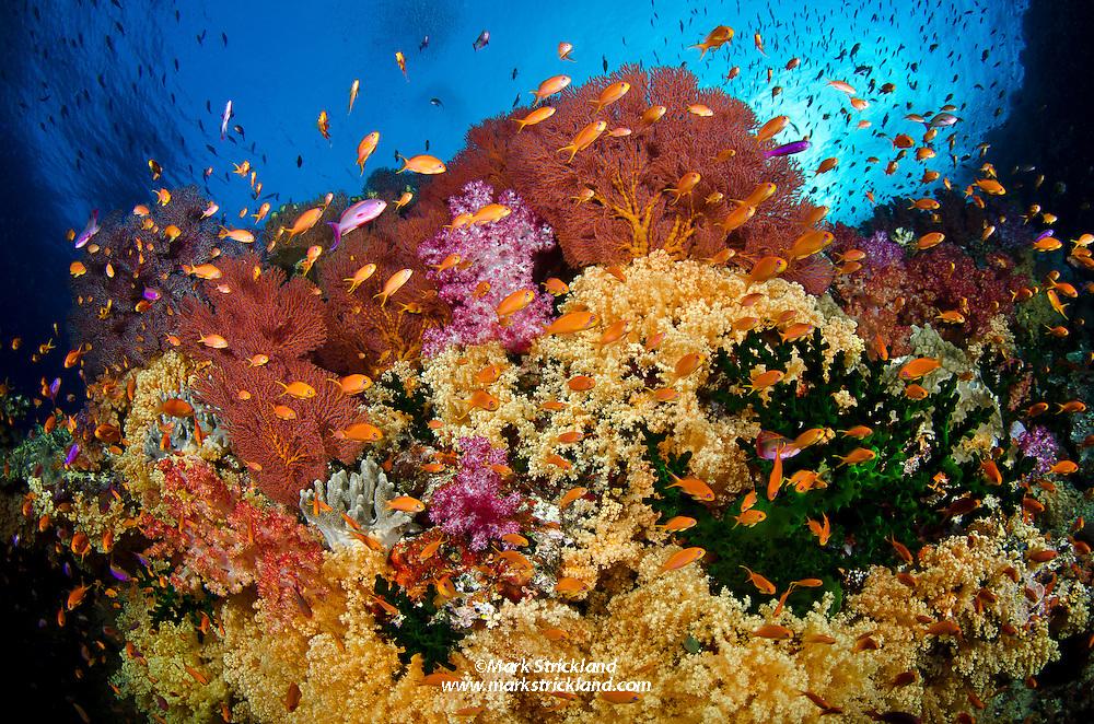 Thriving marine life on a current-swept ridge at Vatu-i-ra, Bligh Water, Fiji, Pacific Ocean