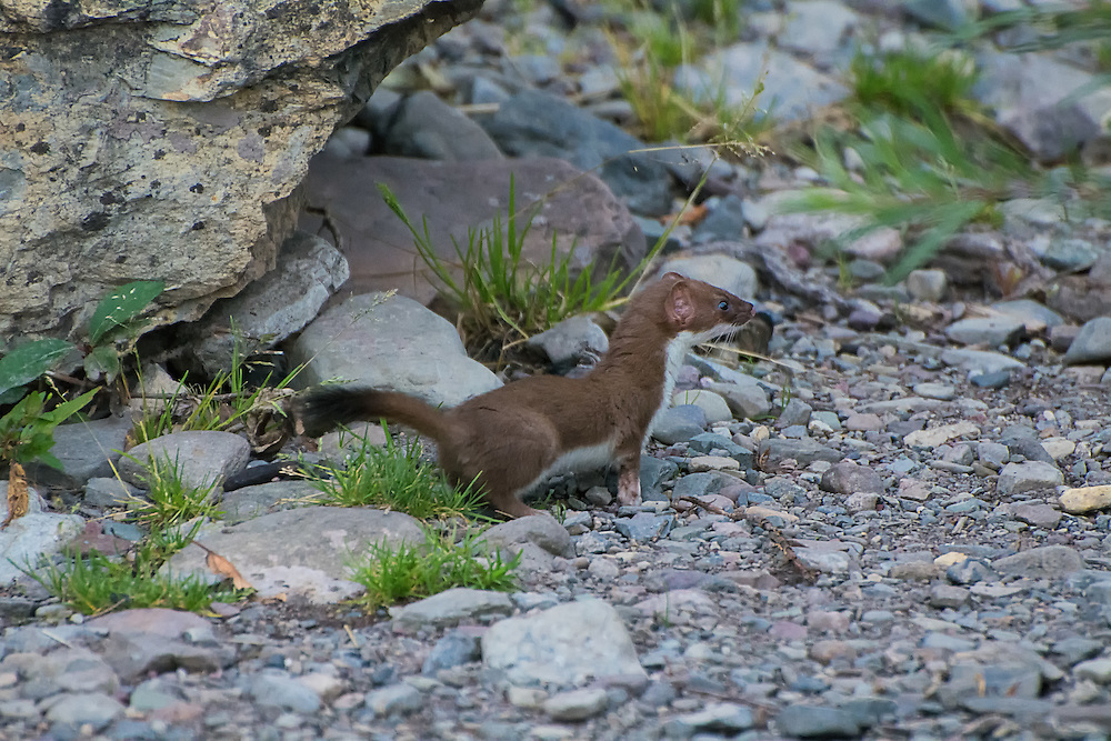 The short-tailed weasel (also known as a stoat or ermine) is a small and voracious predator that will take on prey much larger than itself. It is what is known as a circumpolar species, meaning it is found all around the arctic circle and tends to be found in colder climates. In the United States, it is generally found in the northernmost states, especially in the Cascade and Rocky Mountain ranges. It is commonly found across most of Canada (except the prairies) where it prefers varied habitats in forests, tundra, mountains, wetlands and anywhere varying habitat types converge. This one was found outside of its den in in southern Alberta, Canada.