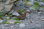 Weasels, Otters & Badgers Family (Mustelids)