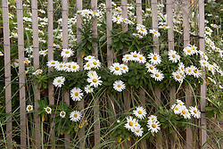wild daisies and a wooden beach fence at the beach in Montauk, NY