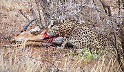 Cheetah (Acinonyx jubatus) Eating a hunted impala Photographed in Africa, Tanzania, Serengeti National Park in April,