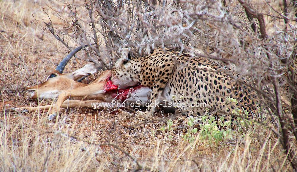 Cheetah (Acinonyx jubatus) Eating a hunted impala Photographed in Africa, Tanzania, Serengeti National Park in April,