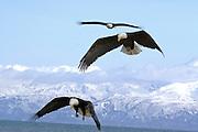Bald Eagle, Haliaeetus leucocephalus, flying, Kenai Peninsula, Homer Spit, Homer, Alaska. Digital original, #2006_0327