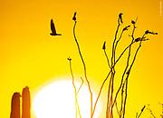 SONORAN SPRING | Lesser nighhawk displays at sunset
