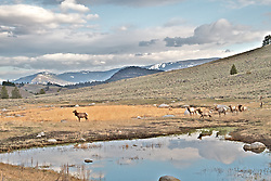 Elk at a Lamar Valley pond in Yellowstone National Park
