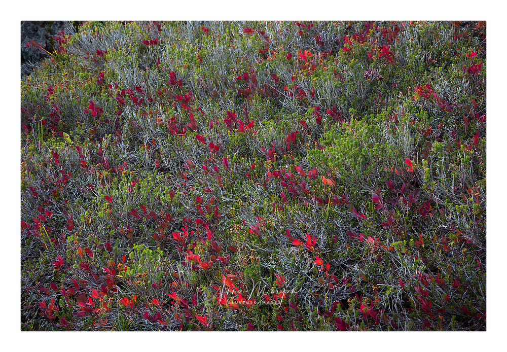 Huckleberries and heather in full autumn color, North Cascades National Park, Washington
