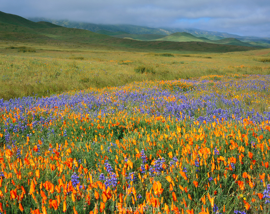 Poppies and Lupine in Spring, Carrizo Plain National Monument, California