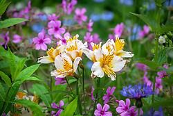 Alstroemeria 'Apollo' - Peruvian Lily - with geranium