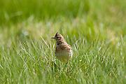 Skylark, Alauda arvensis, in grassland in Gloucestershire, UK