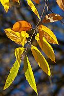 Autumn Leaves, Derbyshire