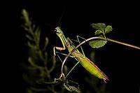 A large Praying Mantis, Tenodera sp., Wuliangshan Nature Reserve, in Jingdong county, Yunnan Province, China.