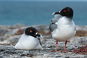 A couple of swallow-tailed gulls, Larus furcatus.