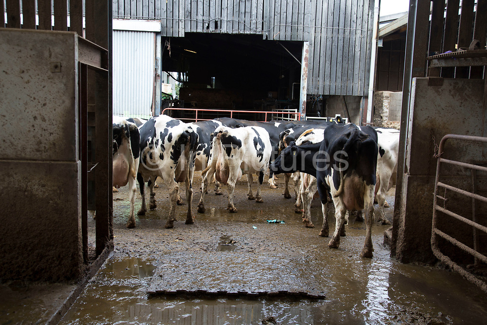 Cows being rounded up at milking time being brought towards the milk parlour. The cows are brought in to individual stalls, their teats are disinfected, and wiped before the milking apparatus is attached. After each cow the apparatus is cleaned and rinsed; as are the stalls. All of this ensures the ultimate cleanliness in the end product, which is tested daily to ensure top quality. Wildon Grange Dairy Farm, Coxwold, North Yorkshire, UK. Owned and run by the Banks family, dairy farming here is a scientific business, where nothing is left to chance. From the breeding, nutrition and health of their closed stock of Holstein Friesian cows, through to the end product, the team here work tirelessly, around to clock to ensure content and healthy animals, and excellent quality milk.