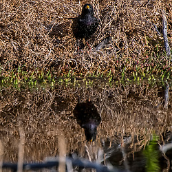 Estorninho-comum (Sturnus vulgaris) fotografado na África do Sul. Registro feito em 2019.<br /> ⠀<br /> ⠀<br /> <br /> <br /> <br /> <br /> ENGLISH: Common Starling photographed in South Africa. Picture made in 2019.