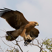 Tawny eagle, Timbavati Game Reserve, South Africa.