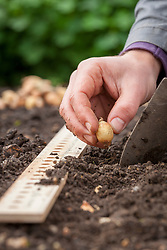 Planting onion sets in the ground using a ruler to measure spaces