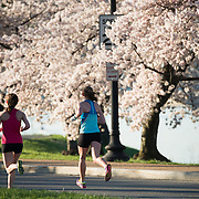 Runners pass by Washington DC's famous cherry blossoms in full bloom during the running of the annual Cherry Blossom 10-Miler. The Cherry Blossom 10-Miler (formally the Credit Union Cherry Blossom 10 Mile Run) is held each spring during the National Cherry Blossom Festival and attracts tends of thousands of runners.